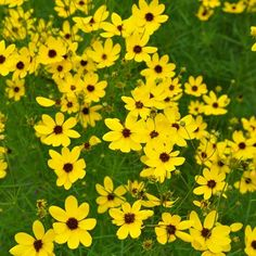 What really sets this coreopsis apart is its sheer size coupled with its delicate, lacey foliage. This is not your average coreopsis. At a whopping 4-5 feet tall, this is sure to stun, especially with its impressive bloom time from June all the way through october! It's also great for pollinators and very disease resistant. Plant Name: Coreopsis 'Gilded Lace' Growing Conditions: full sun Size: 4-5 feet tall Zone: 5-9 Grow it with: Agastache and Culver's root Photo Credit: Mt. Cuba Center