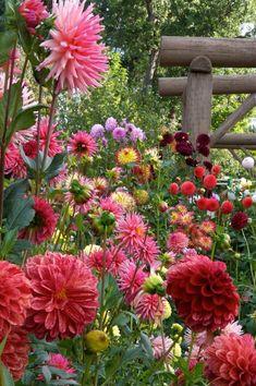 Solve Dahlia flowers in bloom jigsaw puzzle online with 24 pieces Herb Garden, Garden Plants, Shade Garden, Garden Weeds, Garden Cottage, Plantation, Flower Beds, Flower Farm, Dream Garden