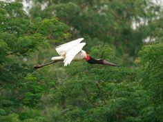 Demis Bucci/Arquivo pessoal   --A maior ave brasileira que voa  -   TUIUIU