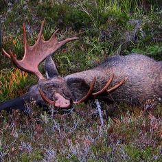 #jakt #norgesjegere #hunting #vornequipment #elgjakt #moose #jaktbilder #swe_hunters #jagiska #nordichunter #nordisk_jakt #mittjaktblad #guidedhunt by thomas.guldvik