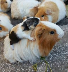 Baby guinea pig hitching a ride on Mama!