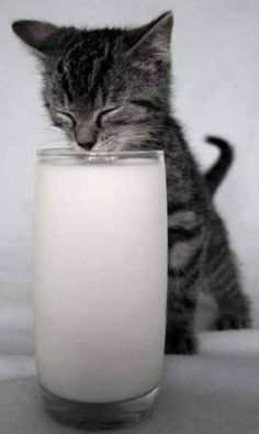 Kitten drinking a glass of milk twice his size :)