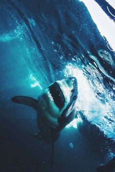 Great White...