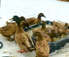 Winter swimming options are slim for the ducks, but this will do in a pinch! See more animal antics at www.stowefarm.org