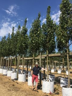 Acer campestre Lienco, Upright field Maple so ideal for smaller spaces