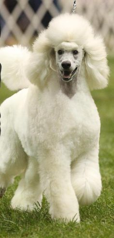standard poodle puppies in black or white