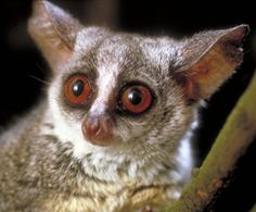 A bushbaby is a small-sized, nocturnal monkey from Africa. Also known by it's name of lesser Galago, these small primates got their name either based on their tiny size or from their cries, which some feel sound like human babies. Nocturnal Animals, Rare Animals, Animals And Pets, Funny Animal Memes, Funny Animals, Animal Humor, Primates, Mammals, Mosaic Animals