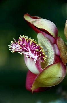 Flor de abricó-de-macaco | Canon Ball Tree