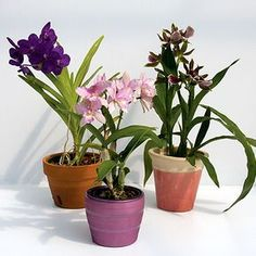 The orchid fits perfectly in any home décor. Our orchid collection has varieties to suit both the beginner orchid gardener and the orchid expert. My Flower, Flowers, Orchid Pot, Plantar, Garden Pots, Orchids, Diy And Crafts, Planter Pots, Color