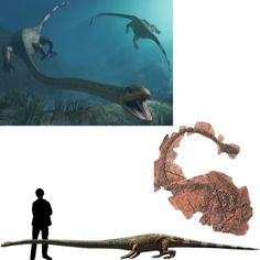 Tanystropheus El Tanystropheus fue un reptil perteneciente al genero de los saurópsidos prolacertiformes que vivió en el cretácico. Poseía un enorme cuello de 3 metros de largo. Se cree que lo usaba para capturar peces, aunque debido a su morfología, aun no está claro cual era su hábita natural. Longitud: 4 metros Encontrado en Europa y Oriente Medio