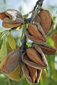 Have you ever seen an almond growing? When the outer husk dries and splits, that's when you know they're ready to be picked! And did you know, all of our almonds - including our the ones in our almond butter - are grown right here in Australia! Fruit Plants, Fruit Garden, Fruit Trees, Trees To Plant, Vegetable Garden, Fruit And Veg, Fruits And Vegetables, Fruits Photos, Fruit Picture