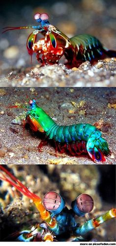 "Mantis Shrimp - ""Their eyes (both mounted on mobile stalks and constantly moving about independently of each other) are similarly variably coloured and are considered to be the most complex eyes in the animal kingdom."""
