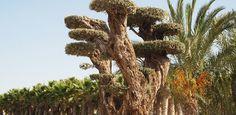 """Olivo milenario """"Olea europea"""" y palmáceas cultivadas por Viveros Durá http://www.jardindeplantas.com/portada/2014-11-24"""