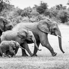 This picture out of Botswana is by South African photographer Cedric Favero. elephants