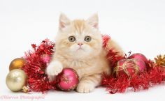 18110-Ginger-kitten-with-red-tinsel-and-Christmas-baubles-white-background.jpg (1460×898)