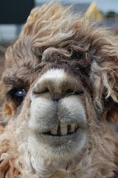 The most viewed pictures all time Ugly Animals, Rare Animals, Happy Animals, Animals And Pets, Cute Creatures, Beautiful Creatures, Alpaca Plushie, Alpaca Funny, Animal Fails