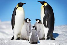Mom, Dad, and the three little penguins