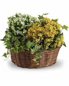 Now here's a low-maintenance relationship everyone loves! Potted kalanchoe plants are flowering, tropical succulents that require very little attention - though you'd never guess it from their pretty appearance. Paired with an ivy plant in a natural gift basket for an extra special delivery! Yellow and white potted kalanchoe plants and a delicate ivy plant are delivered in a natural woven basket. $52.95