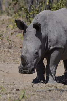 baby rhino Matobo national Park Zimbabwe, Africa . Pin repinned by Zimbabwe Artisan Alliance.