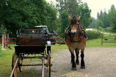 North swedish horse - Nordsvensk
