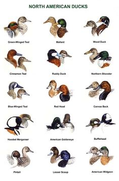 The World Of Amazing Waterfowl Birds