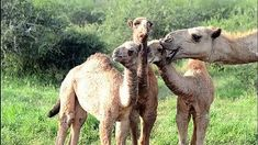 """A camel is an even-toed ungulate in the genus Camelus that bears distinctive fatty deposits known as """"humps"""" on its back. Fake News Stories, Animal Pictures, Camel, Animals, Animales, Animaux, Animal Pics, Animal Photography, Animal Memes"""