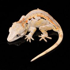 The gargoyle gecko has simple care requirements and awesome-looking morphs are available Reptiles And Amphibians, Mammals, Geckos, Jungle Animals, Cute Animals, Gecko Terrarium, Lizard Dragon, Crested Gecko, Lovely Creatures