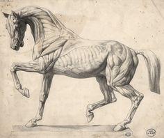 ecorché horse