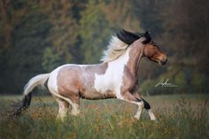Bay Roan Tobiano All The Pretty Horses, Beautiful Horses, Animals Beautiful, Horse Photos, Horse Pictures, Caballo Tobiano, American Paint Horse, Pinto Horses, American Saddlebred