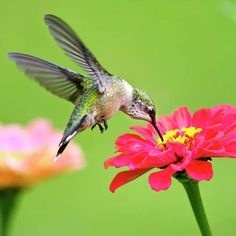 Waiting in the Wings Hummingbird Square Art Print by Christina Rollo. All prints are professionally printed, packaged, and shipped within 3 - 4 business days. Choose from multiple sizes and hundreds of frame and mat options. Hummingbird Photos, Hummingbird Tattoo, Hummingbird Flowers, Hummingbird Painting, Fine Art Photo, Photo Art, Images Colibri, Quality Photo Prints, Waiting In The Wings
