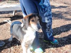 Max is an adoptable Basset Hound Dog in Dahlonega, GA. Max is as happy as they come. This sweet boy is 2-3 years old and hasn't met a dog or person he doesn't like. Max came to us from the county shel...