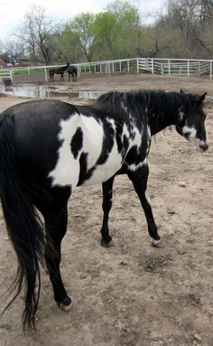 """This is one of my favorite horses out at my barn...I love her markings....she looks like a real """"Indian Pony"""" from the wild west!"""