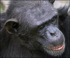 Zac one of the Alpha Males at Chimp Eden