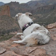 Overlooking the beautiful Tortilla Flats(there are rocks below her I'd never let her sit that close to an edge)!  She's the best scenery in this picture for me  #miniaussie #aussiesofinstagram #redmerle #dogsofinstagram #petstagram  #australianshepherd  #sendadogphoto #lacyandpaws  #dogsofinstaworld #bestwoof  #excellent_dogs #puppiesxdogs  #topdogphoto #dogsandpals #adventuredog  #a_dogsworld #az365 #hikeaz #hikingwithdogs #hikearizona #hikingdogsofinstagram #aussiefeaturing  #arizona…