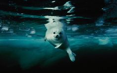 Harp Seals « Brian Skerry Photography