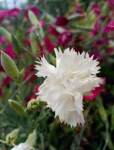 Clavell blanc