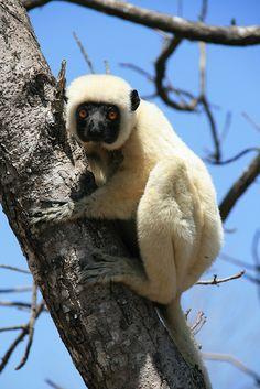 The gorgeous Deckens Sifaka lemur - Tsingy de Bemaraha National Park,  western Madagascar.