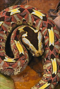 Rhinoceros Viper. They are slow moving, but capable of striking quickly, forwards or sideways, without coiling first or giving a warning.