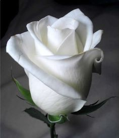 white rose photograph, nice for studying shades