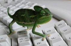 Chameleon on keyboard