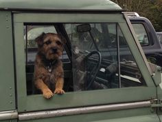 "Ted the border terrier in ""his"" land rover."