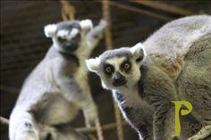 Peoria Zoo Ring-tailed Lemurs Aiden and Donovan! #peoriazoo #lemur