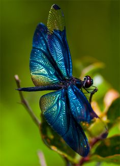 The colors are pretty amazing 😍 I can't wait to have my own home so I can build a Dragonfly and Butterfly flower garden with a small pond for my turtle to hangout in 🦋💜💧💚🐢🌹🌺 Dragonfly Images, Dragonfly Art, Dragonfly Tattoo, Cool Insects, Flying Insects, Bugs And Insects, Beautiful Bugs, Beautiful Butterflies, Dragonfly Photography