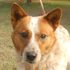 Big Red is an adoptable Australian Cattle Dog (Blue Heeler) Dog in Eau Claire, WI. Big Red came to the shelter in March and was not claimed by his past owner. He is a very striking Australian Cattle D...
