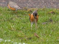 Robin pulls a worm out of the ground
