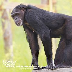 Vote for your favorite chimpanzee artwork today and once every day until 5:00 p.m. ET, August 22, 2013. The winning sanctuaries will receive grants from The HSUS!