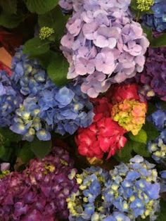 What a splendidly marvelous array of hydrangea hues all clustered together in one beautiful spot.