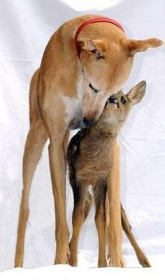 Jasmine the Greyhound fostering a baby doe.
