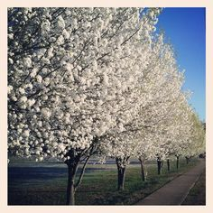 this is what i want down my drive way. are they ornamental pears?