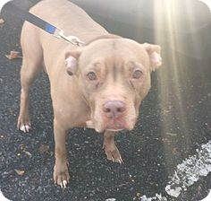 Pit Bull Terrier Mix Dog for adoption in Oak Ridge, New Jersey - Cinnamon-URGENT- foster needed